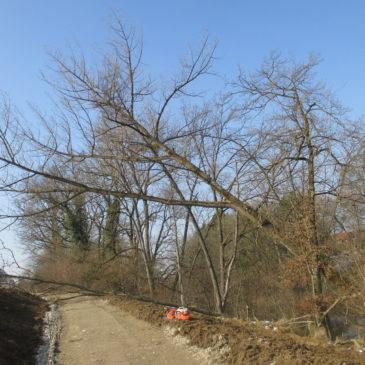 Fällen von Bäumen für einen Wegneubau