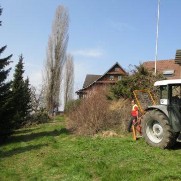 Fällen einer Pappel in Steinhausen